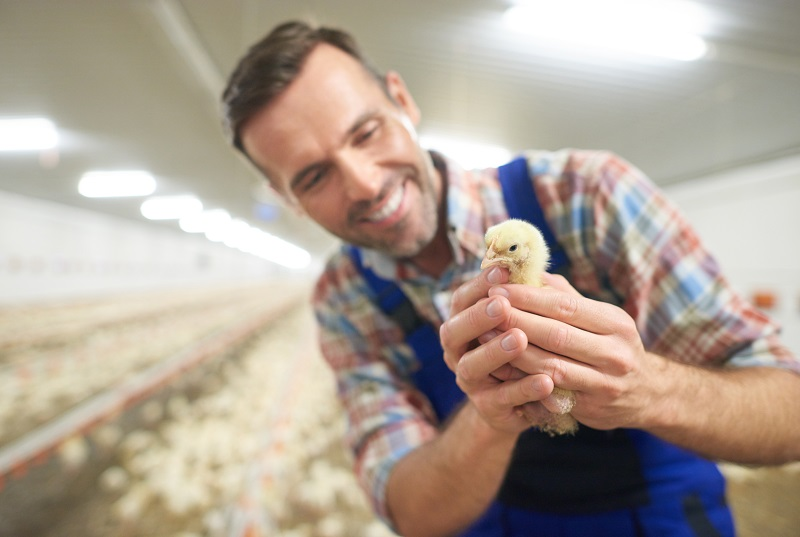 Automatización granjas avícolas